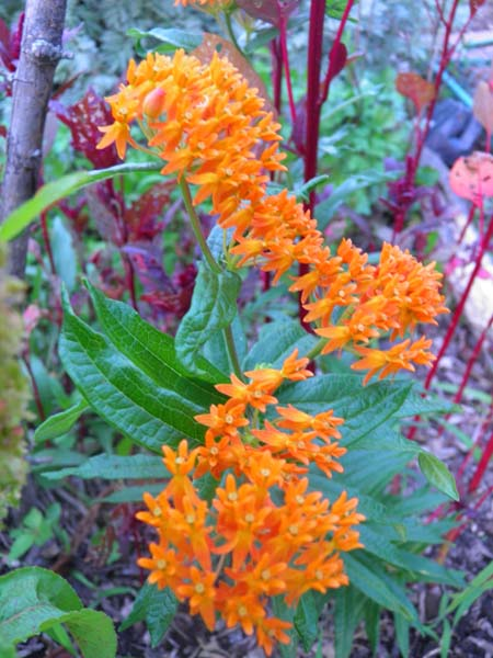 Pleurisy Root (Asclepias tuberosa) and Amaranth (Amaranthus paniculatus) bloom well together in the prairie garden.