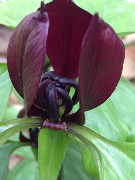 Trillium blooming in the woodland garden.